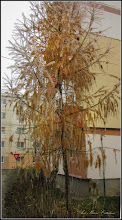 Photo: Zadă (Larix decidua) - de pe Str. Macilor - 2016.11.24