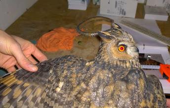 Photo: Kuva-16b, sarvipöllö +1kv naaras (lokakuu) kuvaaja Max Vakiala