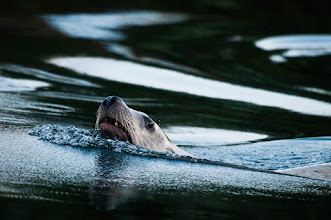 Photo: Sea lion at Shearwater keeps a close eye on us