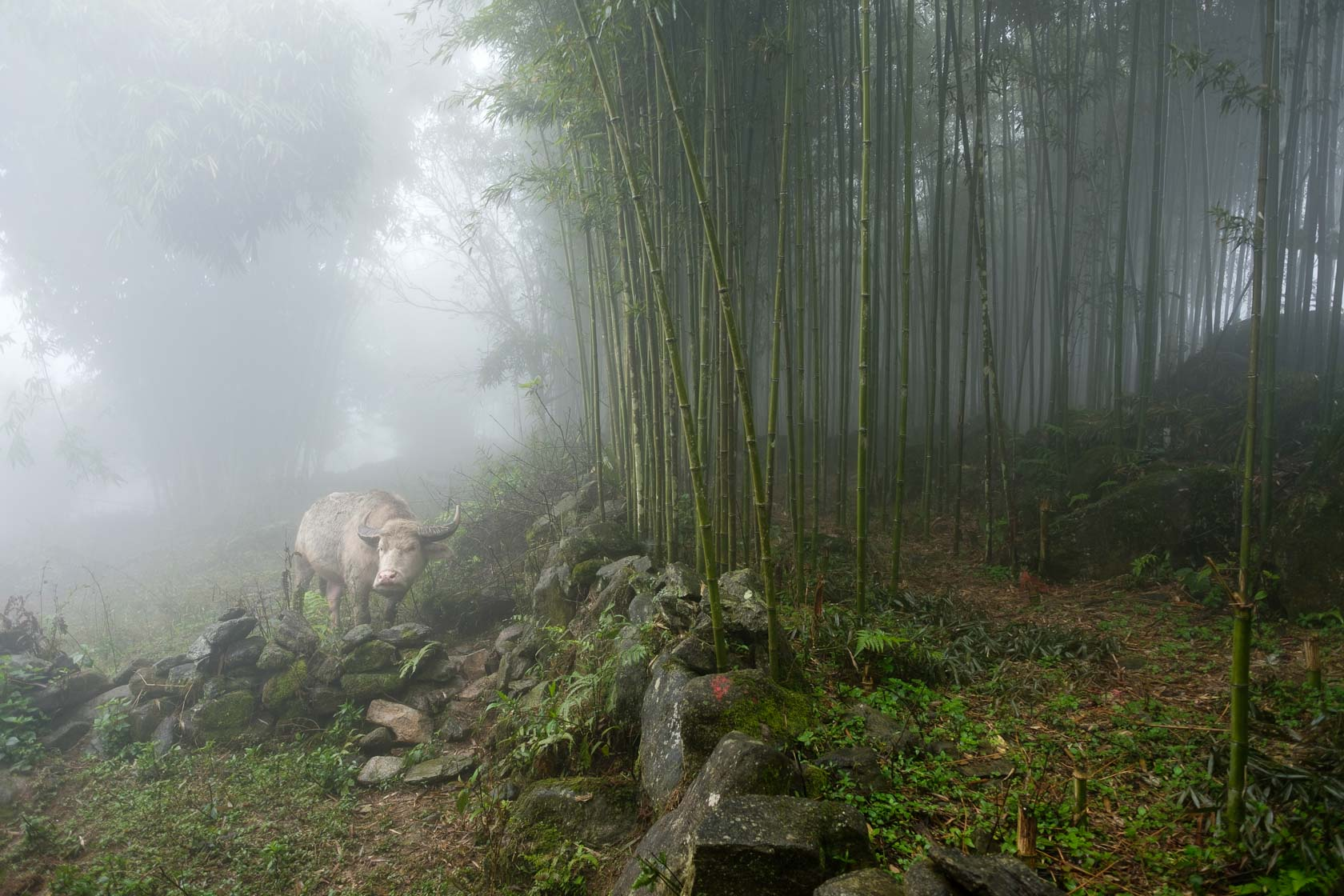 Water Buffalo and Bamboo Forest, Sa Pa, Vietnam