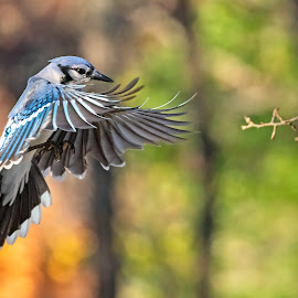 Blue Jay Approach 4584 by Carl Albro - Animals Birds ( flight, bird in flight, blue jay, bird, flying )