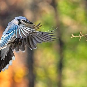 Blue Jay Approach 4584.jpg