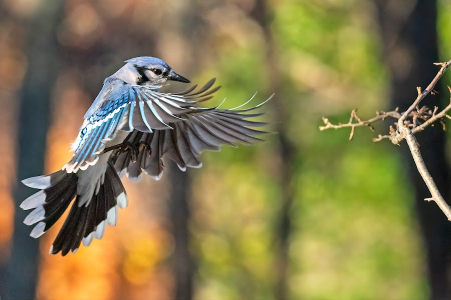 Blue Jay Approach 4584 by Carl Albro - Animals Birds ( flight, bird in flight, blue jay, bird, flying )