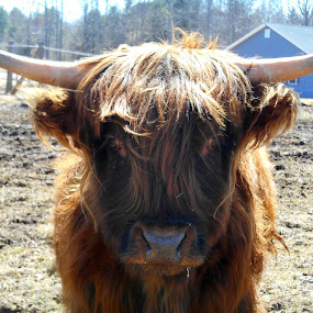Hi there! by Sandy Davis DePina - Animals Other ( happy, cow, springtime, spring,  )