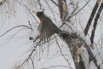 Photo: Robin plucking berry from Russian Olive tree  3/27/09