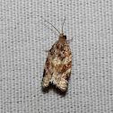 archipine moth