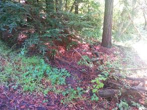 Photo: Redwood understory