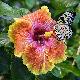 HIbiscus by Dawn Hoehn Hagler - Flowers Single Flower ( paper kite, butterfly, hibiscus, tropical flower, arizona, tropical, tucson, insect, tucson botanical gardens, garden, flower,  )