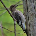 Red-headed woodpecker juvenile