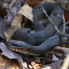 Northern water snakes