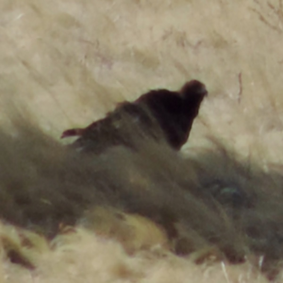 Golden Eagle   juvenile