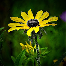 Backyard black-eyed susans by Mary Gallo - Flowers Flower Gardens ( flowers, nature, nature up close, garden flowers, black-eyed susans )