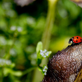 Beautiful ladybird by Tiffany Hibbins - Animals Insects & Spiders