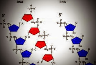 Photo: In RNA base-2:   U = 00    C = 01   A = 10    G = 11. In DNA base-2:   T = 00    C = 01   A = 10    G = 11. In mRNA base-2: T/U = 00, C = 01; A = 10 G = 11.  Do Sutherland mirror pair palindromes in single stranded RNA play a significant role in how a linear gene sequence coalesces into its three dimensional shape? Does the diagonal that naturally cuts through the ribose (the R in RNA) to infinity facilitate this process? The RNA base mirror pair palindrome values (0) UU to (15) GG:  (01) 0001 UC mirrors (08) 1000 AU; (02) 0010 UA mirrors (04) 0100 CU; (03) 0011 UG mirrors (12) 1100 GU; (05) 0101 CC mirrors (10) 1010 AA; (07) 0111 CG mirrors (14) 1110 GA.  Is DNA the stable evolutionary advance of the fluid volatile early RNA? Does this explain why DNA still needs mRNA to code for the amino acids to make protein?  When DNA codes for RNA to make a Protein, base-2 cross section palindromes in mRNA codon triplets play a significant role in directing the linear gene sequence coalescing into its unique three dimensional protein shape.  mRNA codon triplet stand alone palindromes are: (00) 000000 UUU phe; (12) 110011 UGU cys; (18) 010010 CUA leu; (30) 011110 CGA arg; (33) 100001 AUC ile; (45) 101101 AGC ser; (51) 110011 GUG val; (63) 111111 GGG gly.  Internal inverse mRNA codon triplet cross sections also play a role in protein folding:  (07) 000111 UCG ser; (11) 001011 UAG stop; (21) 010101 CCC pro; (25) 011001 CAC his; (38) 100110 ACA thr; (42) 101010 AAA lys; (52) 110100 GCU ala; (56) 111000 GAU asp.