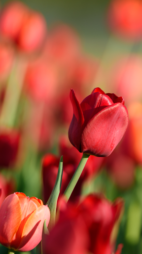 Tulip Wallpapers ss2