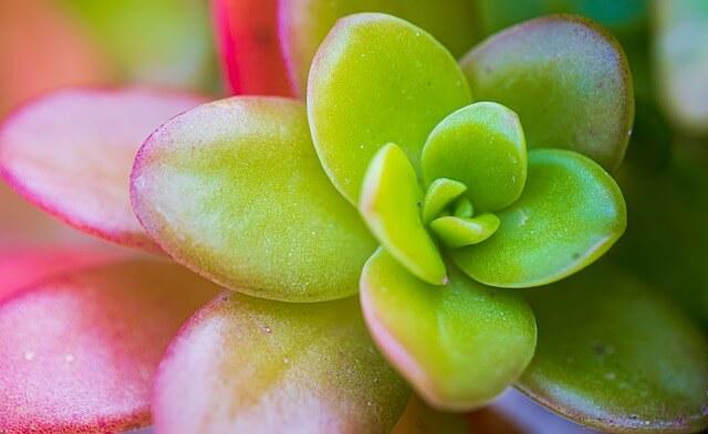 Jade Plant zoomed, with reddish pink tinge on leaves