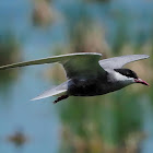 Fumarel cariblanco (Whiskered tern)