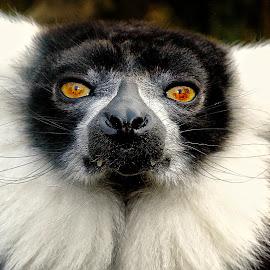 Vari noir et blanc by Gérard CHATENET - Animals Other Mammals