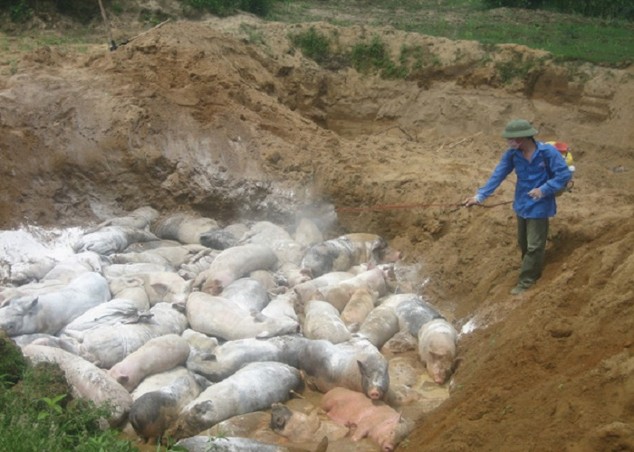 Tiêu hủy lợn mắc bệnh đúng cách