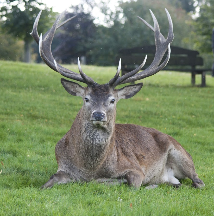 Red Deer Stag by Dan Siverns - Animals Other Mammals