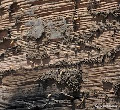 Photo: Live termites on the 2x10 garage floor joist.