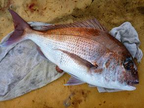 Photo: 2kgちょっとかな? ハンサム真鯛。