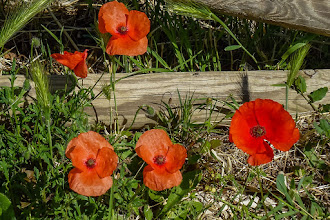 Photo: More poppies