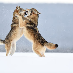 Wolf dance by Bencik Juraj - Animals Other Mammals ( beast, predator, wolf, wolves, animal,  )