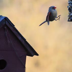 Cardinal Leap by Sidney Vowell - Novices Only Wildlife ( bird, cardinal, wildlife, jump, feeder )