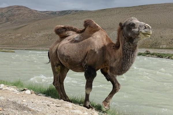 Trampeltier am Ufer des Pamir.