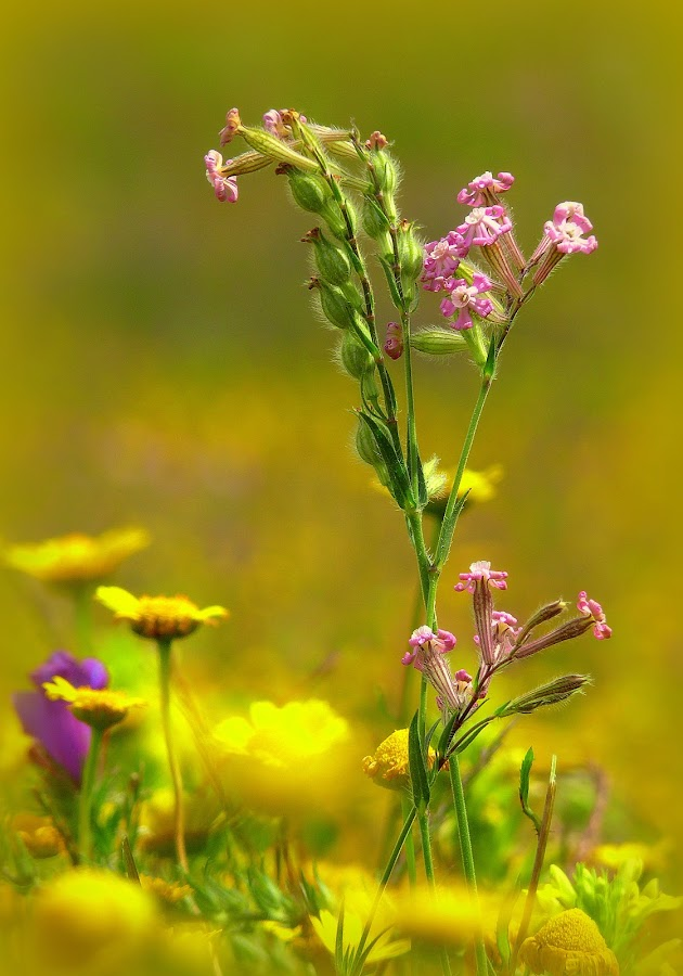 The colors of my field by Joaquim Machado - Nature Up Close Flowers - 2011-2013 ( jomacphotography portugal flowers colors )