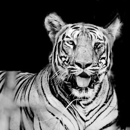 Profile of a tiger by Pravine Chester - Black & White Animals ( monochrome, animals, black and white, tiger, big cat )