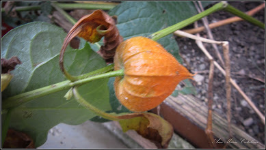 Photo: Păpălăul (Physalis alkekengi) - de pe Str. Salinelor - 2016.10.08
