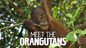 Meet the Orangutans thumbnail