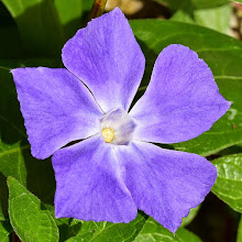 Photo: Vinca major, pervinca maggiore, periwinkle