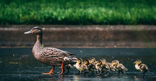 How a Family of Ducks Unites Strangers