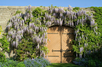 Photo: Not many companies have the horticultural knowledge to prune a Wisteria like this one we've looked after for years at Milton's Town Hall Garden.