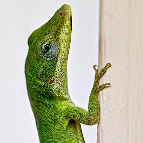 by Brook Kornegay - Animals Reptiles ( lizard, anole, reptile,  )
