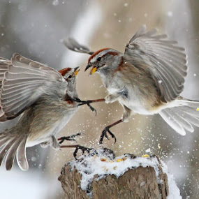 Fight Club by Mircea Costina - Animals Birds ( flight, winter, tree, fight, snow, birds, sparrow )
