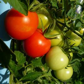 Tomatoes by Helena Moravusova - Nature Up Close Gardens & Produce ( tomatoes )