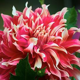 Dahlia 9067~1 by Raphael RaCcoon - Flowers Single Flower