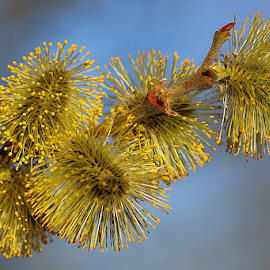 Spring Catkins by Chrissie Barrow - Nature Up Close Other Natural Objects ( macro, blue, nature, closeup, yellow, catkins )