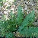 Common lady-fern