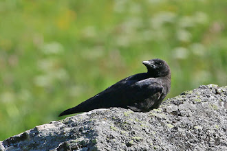 Photo: Carrion Crow