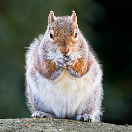 Squirrel 909~Q by Raphael RaCcoon - Animals Other Mammals