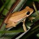 Dorsal-striped Opposite-fingered Treefrog