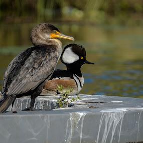 Strange Bedfellows by Ronnie Sue Ambrosino - Animals Birds ( fountain, couple, duck, bird, cormorant, bufflehead, friends,  )