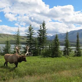 Wild Elk by Chris Bertenshaw - Animals Other Mammals ( mountains, nature, elk, outdoors, wildlife,  )