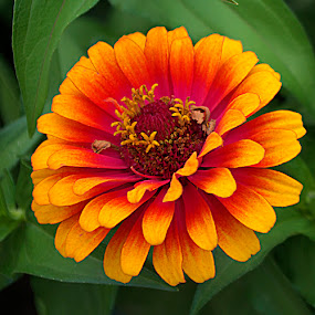 Red & Yellow by Frank Barnitz - Flowers Single Flower ( red, yellow, flower )
