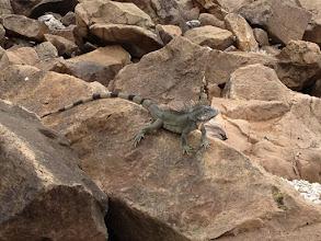 Photo: iguana!